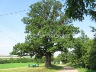 Stejarul secular din Bornis